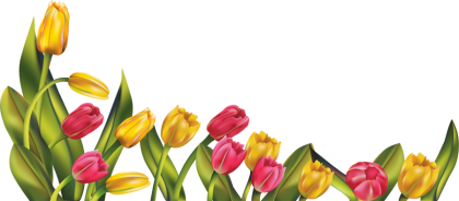 Beautiful Tulip PNG