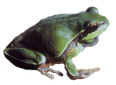 Pine Barrens Tree Frog PNG