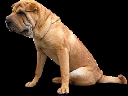 Sitting Bulldog PNG HD