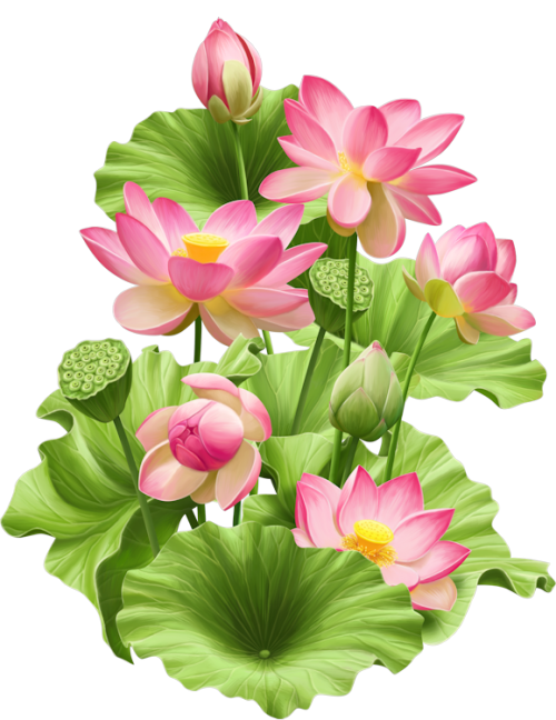 Lotus Flower PNG Photos