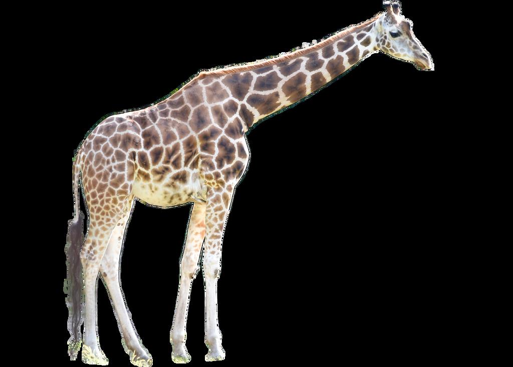 Giraffe Transparent Background