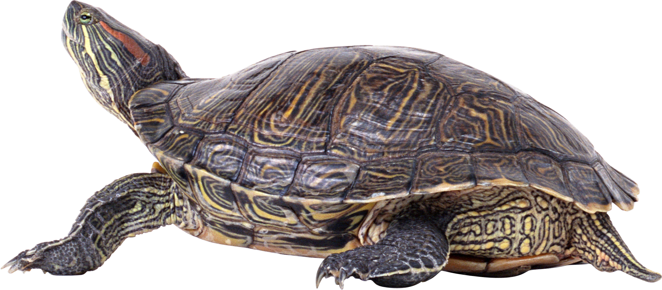 Sea Turtle PNG Pic