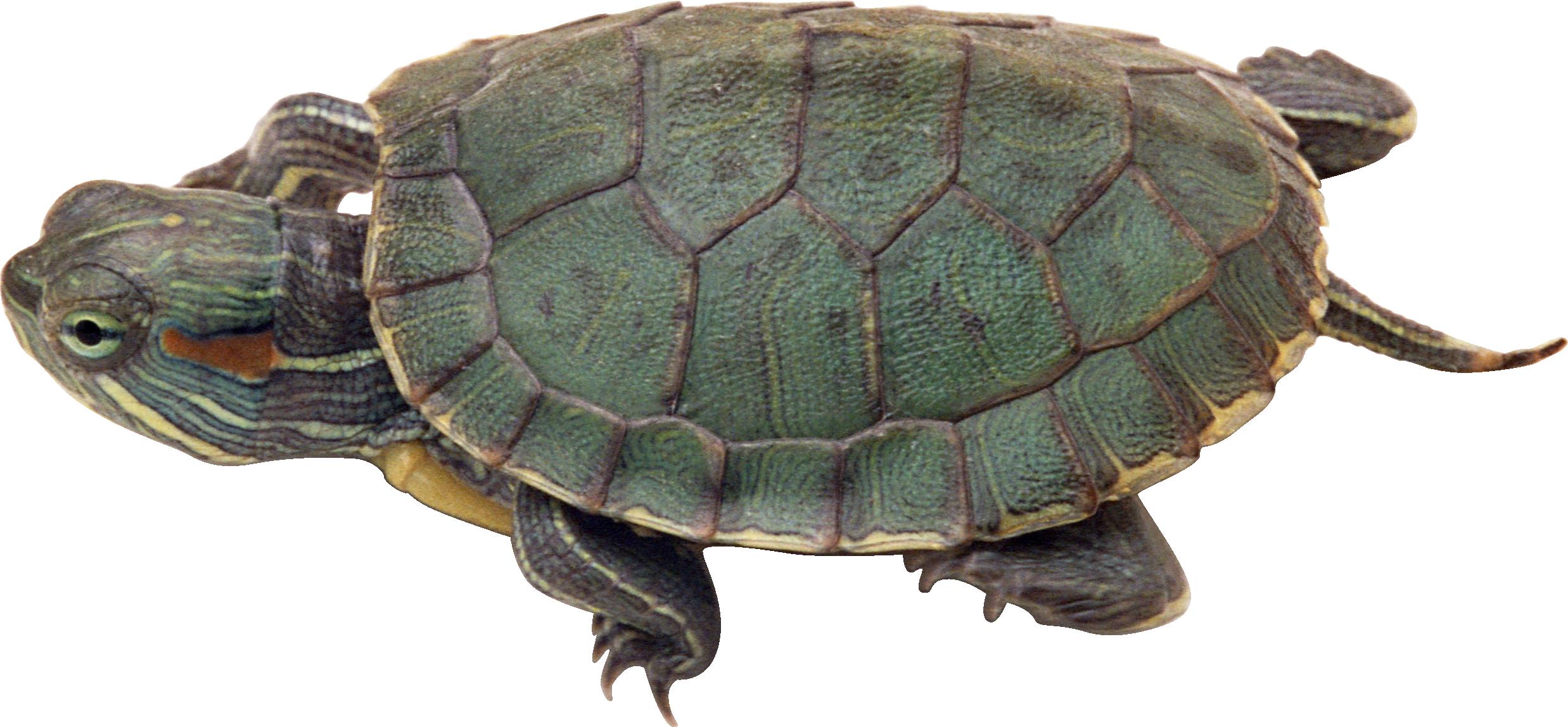 Sea Turtle Transparent PNG