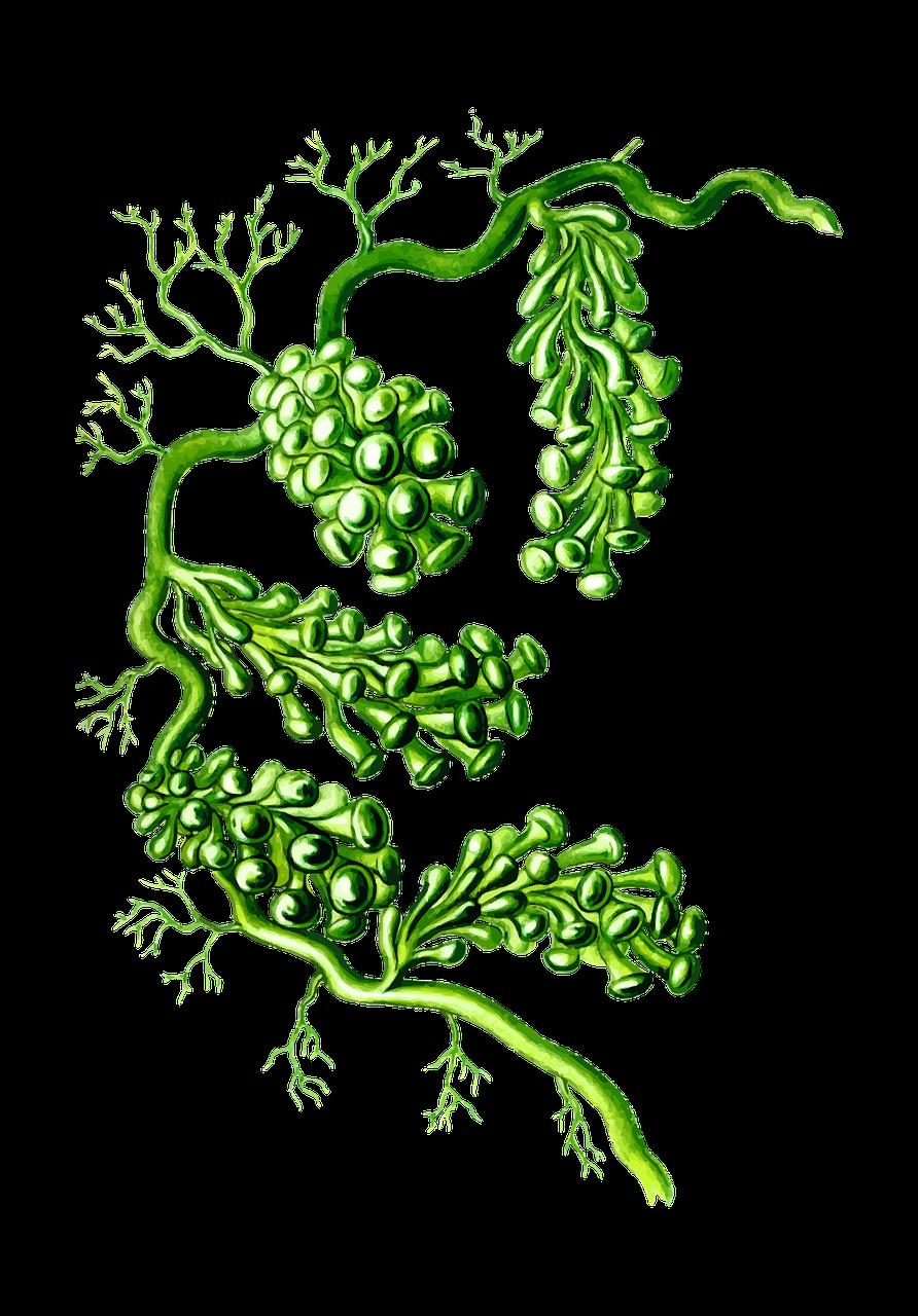 Algae PNG Photos