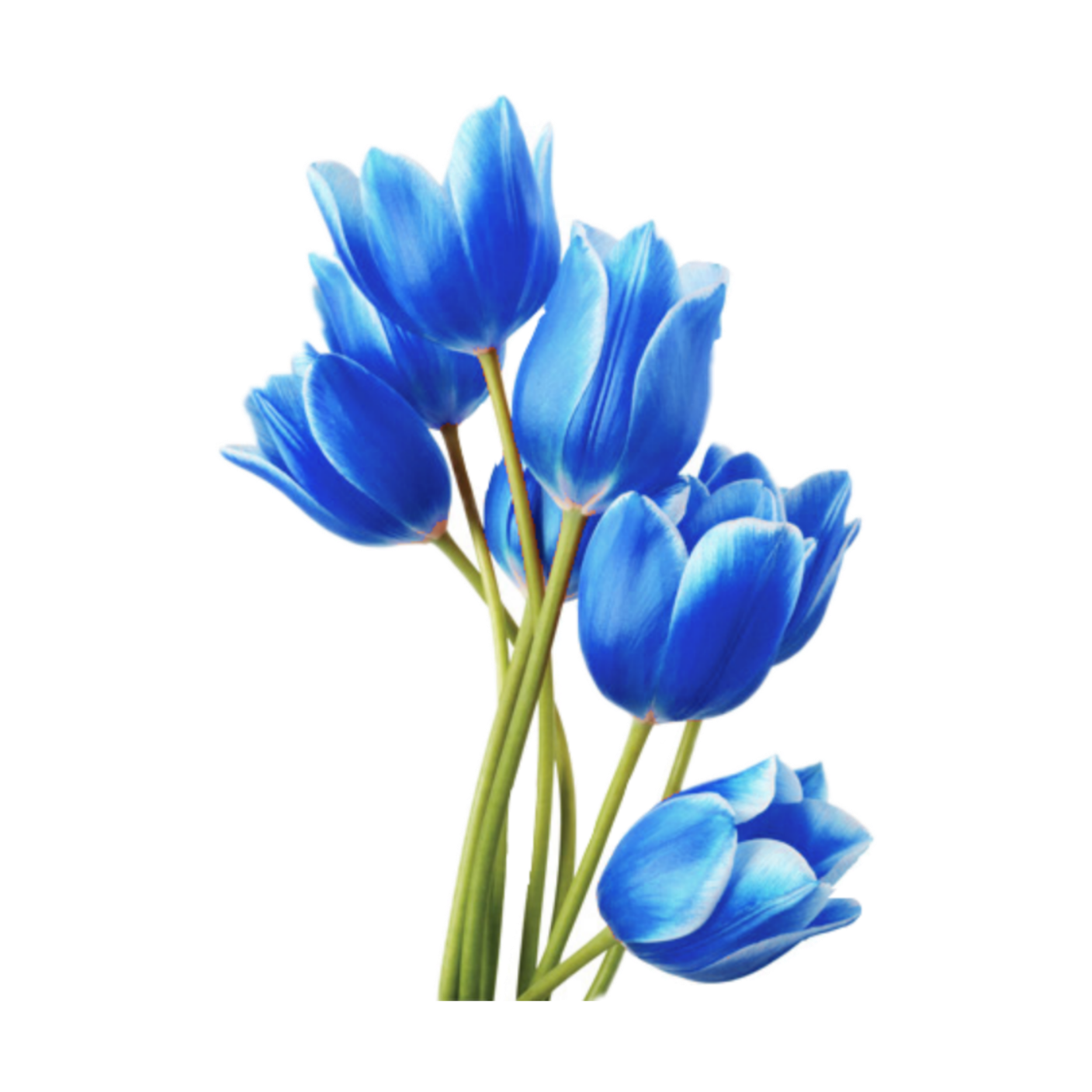 Blue Tulip PNG Isolated HD