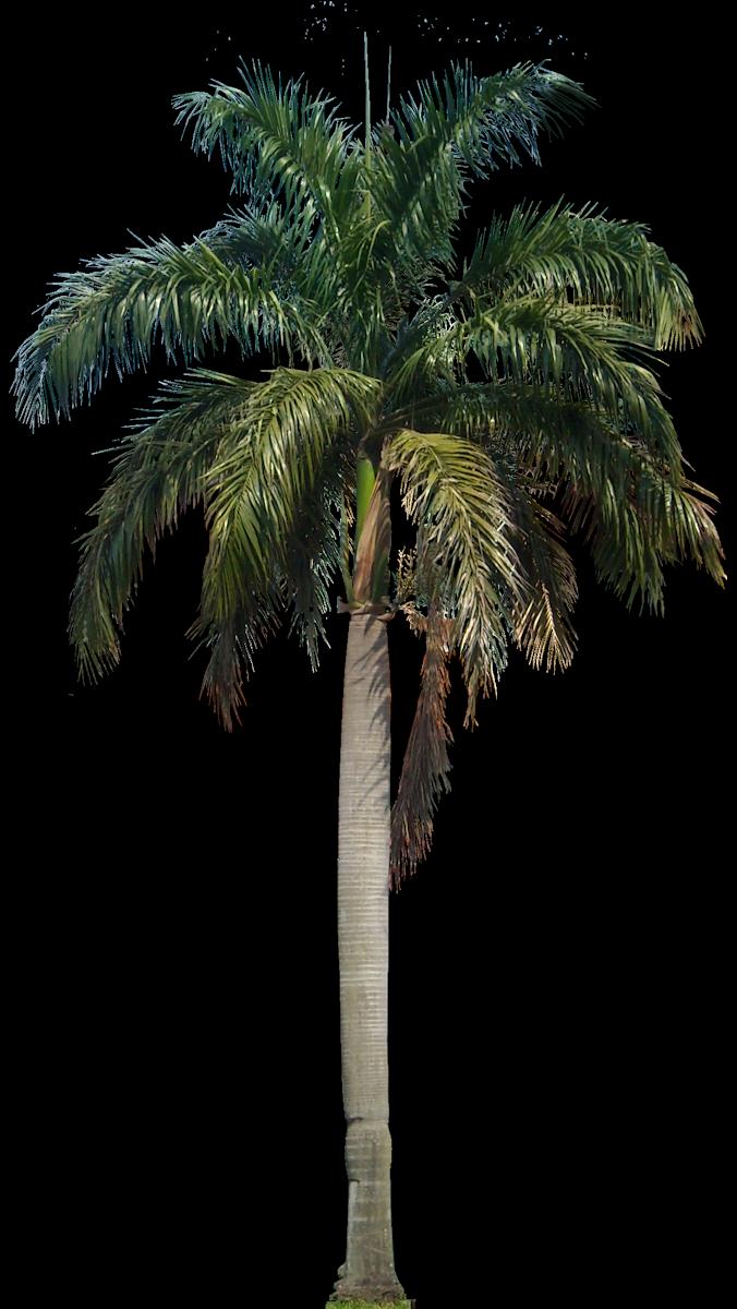 Coconut Tree PNG HD