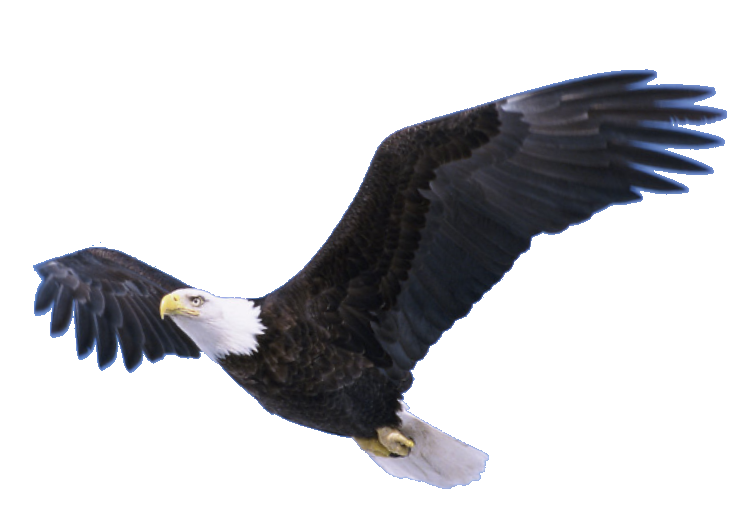 Bald Eagle PNG Pic
