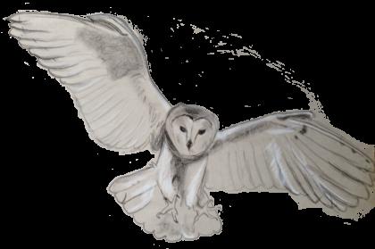 Barn Owl PNG Transparent