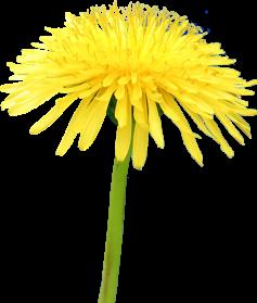 Yellow Dandelion PNG File